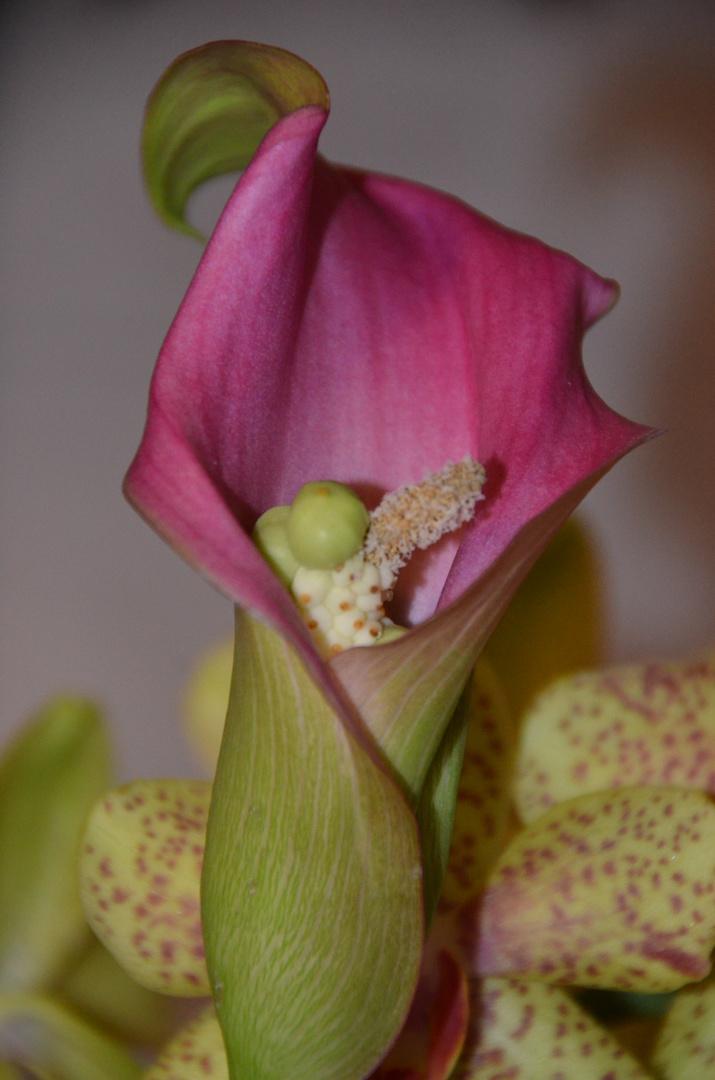 Die schöne Calla-Blüte...