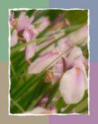 Die schöne Iris