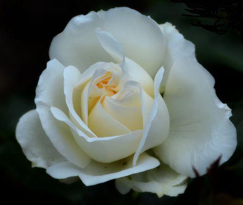 die schöne Weisse.........