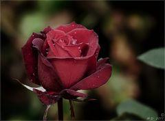 Die Schönheit der Rose...