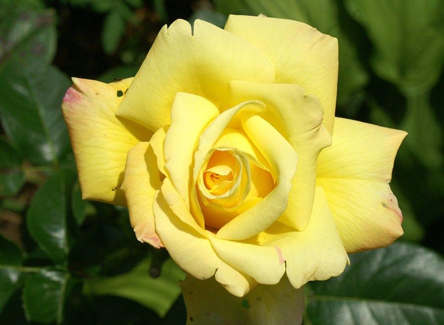 Die Schönheit der Rose