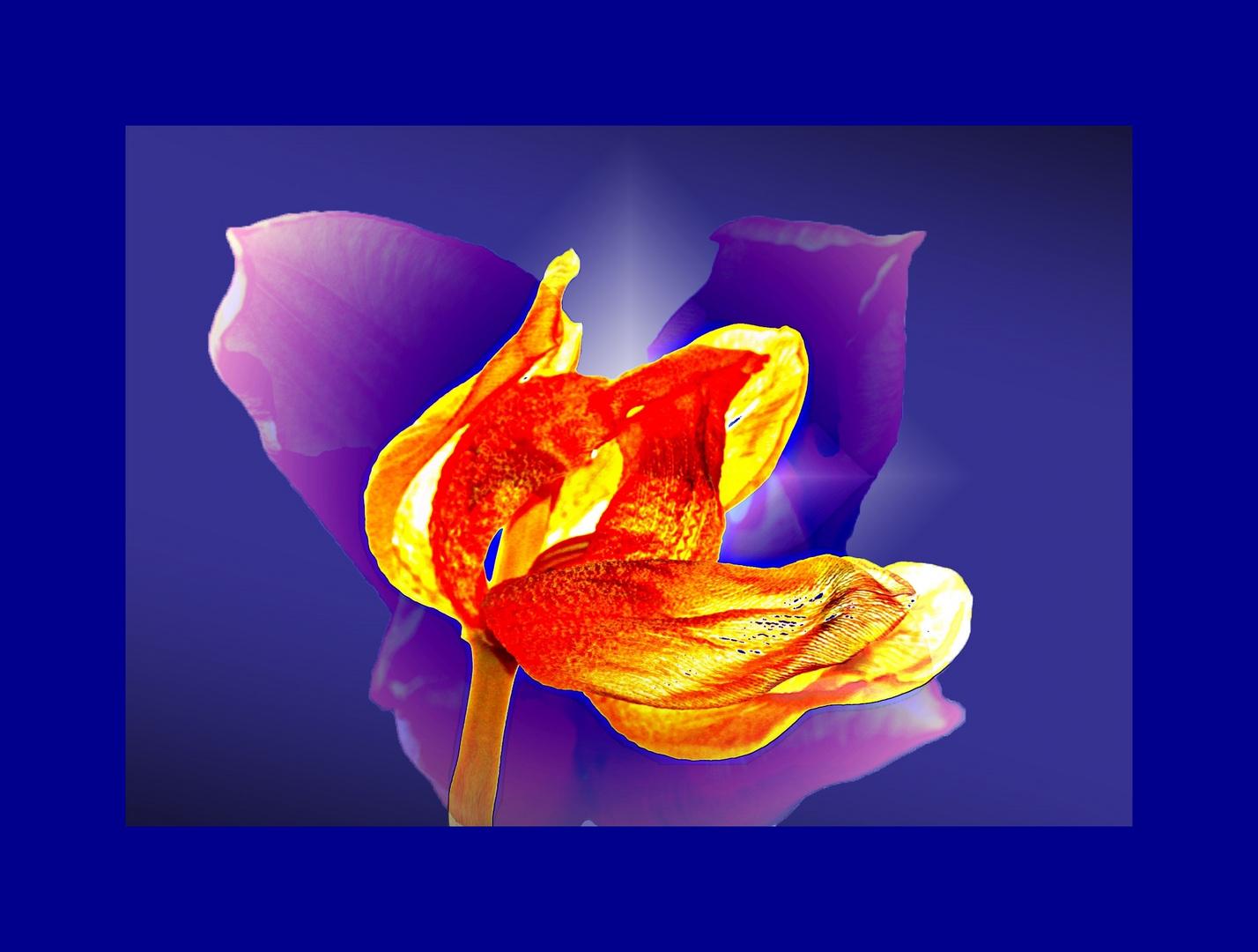 Die Schönheit der welkenden Tulpe