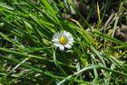 Die Schönheit einer Gänseblume