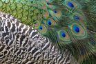 Die Schönheit eines Pfaus - seine Muster