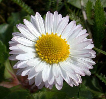 Die schönste Blüte, die ich heute fand,