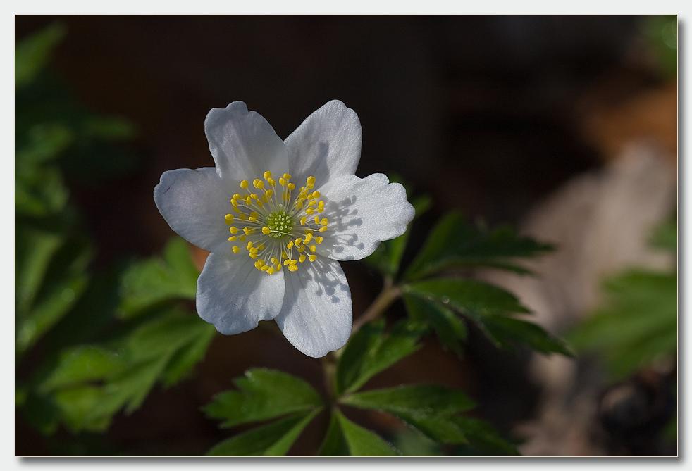 Die schönste Blume des Waldes
