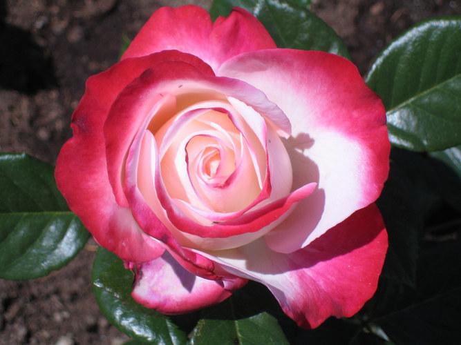 die sch nste rose der welt foto bild pflanzen pilze flechten bl ten kleinpflanzen. Black Bedroom Furniture Sets. Home Design Ideas