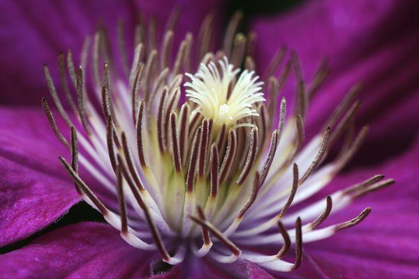 Die Schönste unter den Clematis Euphemia-Rosalia