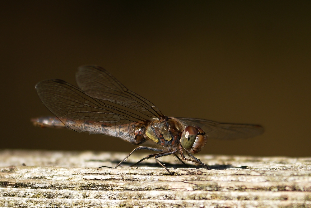 die schwangere Libelle