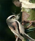Die Schwanzmeise sammelt fleißig Nistmaterial.