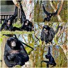 Die Schwarzen Gibbons . . .