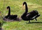 Die Schwarzschwäne auf dem Golfplatz in Dillenburg