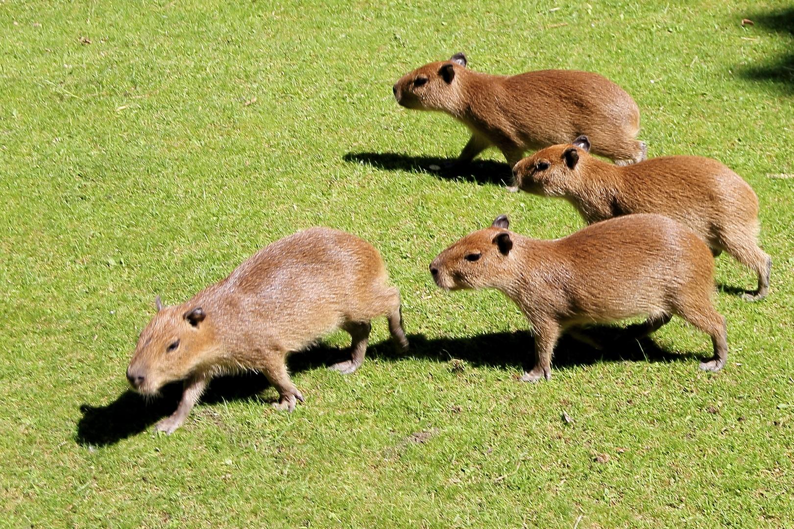 Die Schweinchen sind los ...
