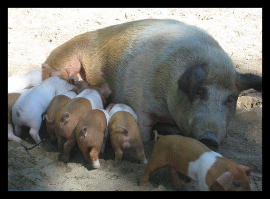 Die Schweinerei