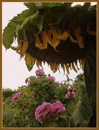 -Die schwere Last einer Sonnenblume-