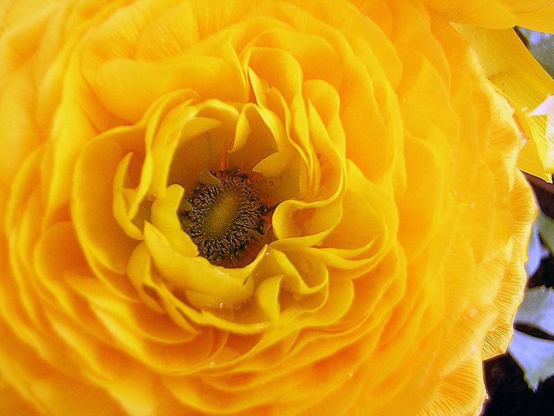 ~Die Schwester der Rose~