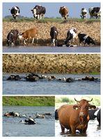 """"""" Die schwimmenden Kühe von Wizna """""""