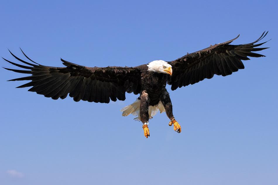 die Schwingen des Adler