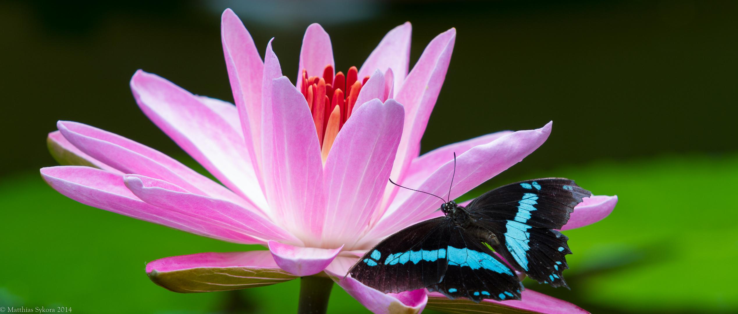 Die Seerose und der Schmetterling