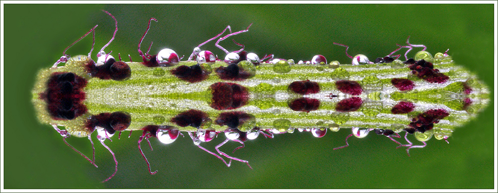 die seltene Raupus Orchis curiosum symmetrus ...