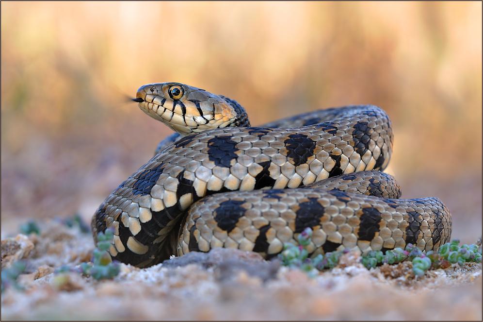 ... die seltenste Schlange Europas