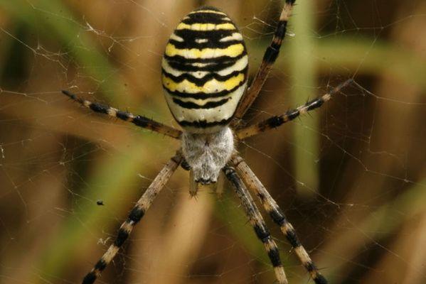 die siebenschwänzige Katze, äh die sechsbeinige Spinne (die Arme)