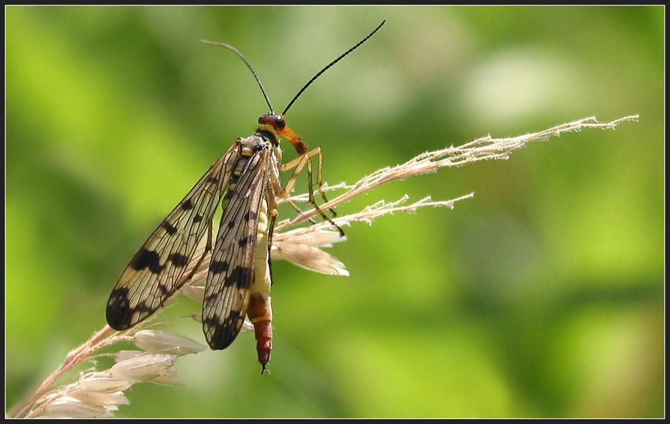die Skorpionsfliege