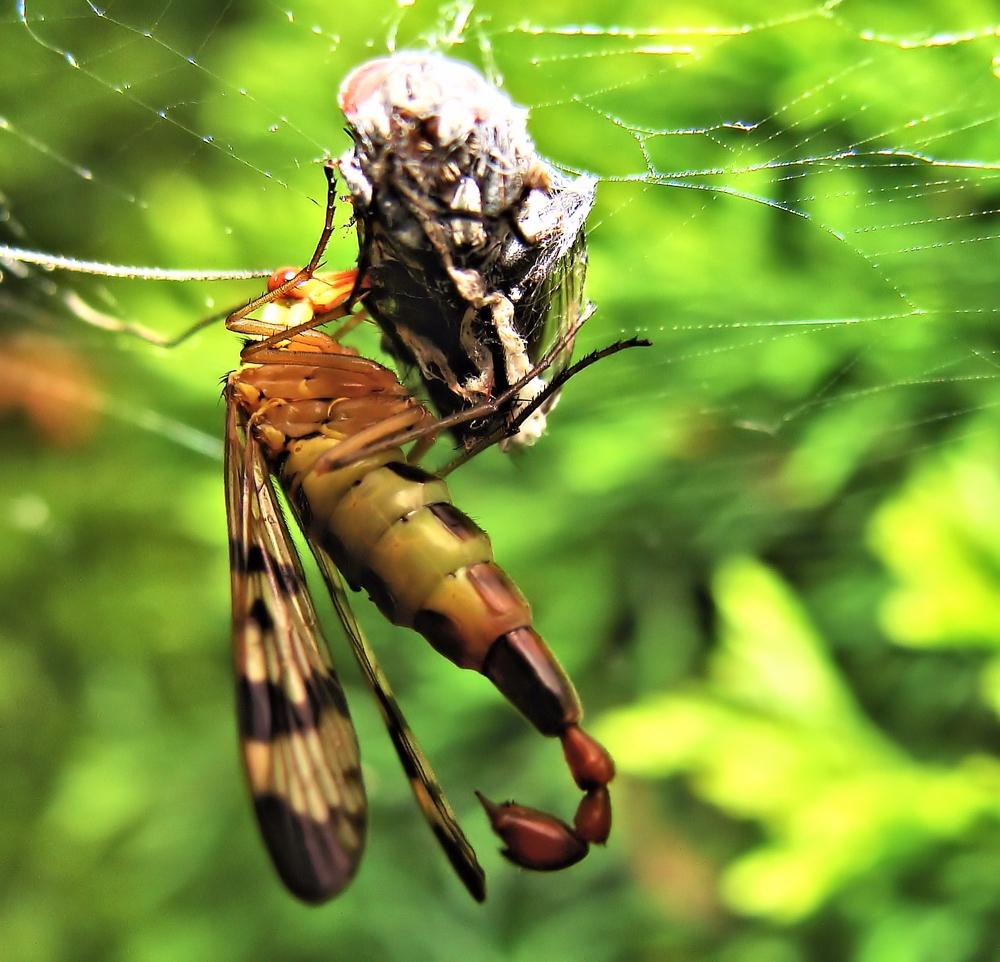 Die Skorpionsfliege..........