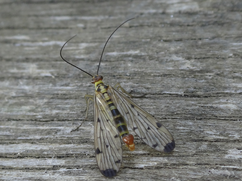 Die Skorpionsfliegen (Panorpidae) sitzt auf dem Frühstückstisch