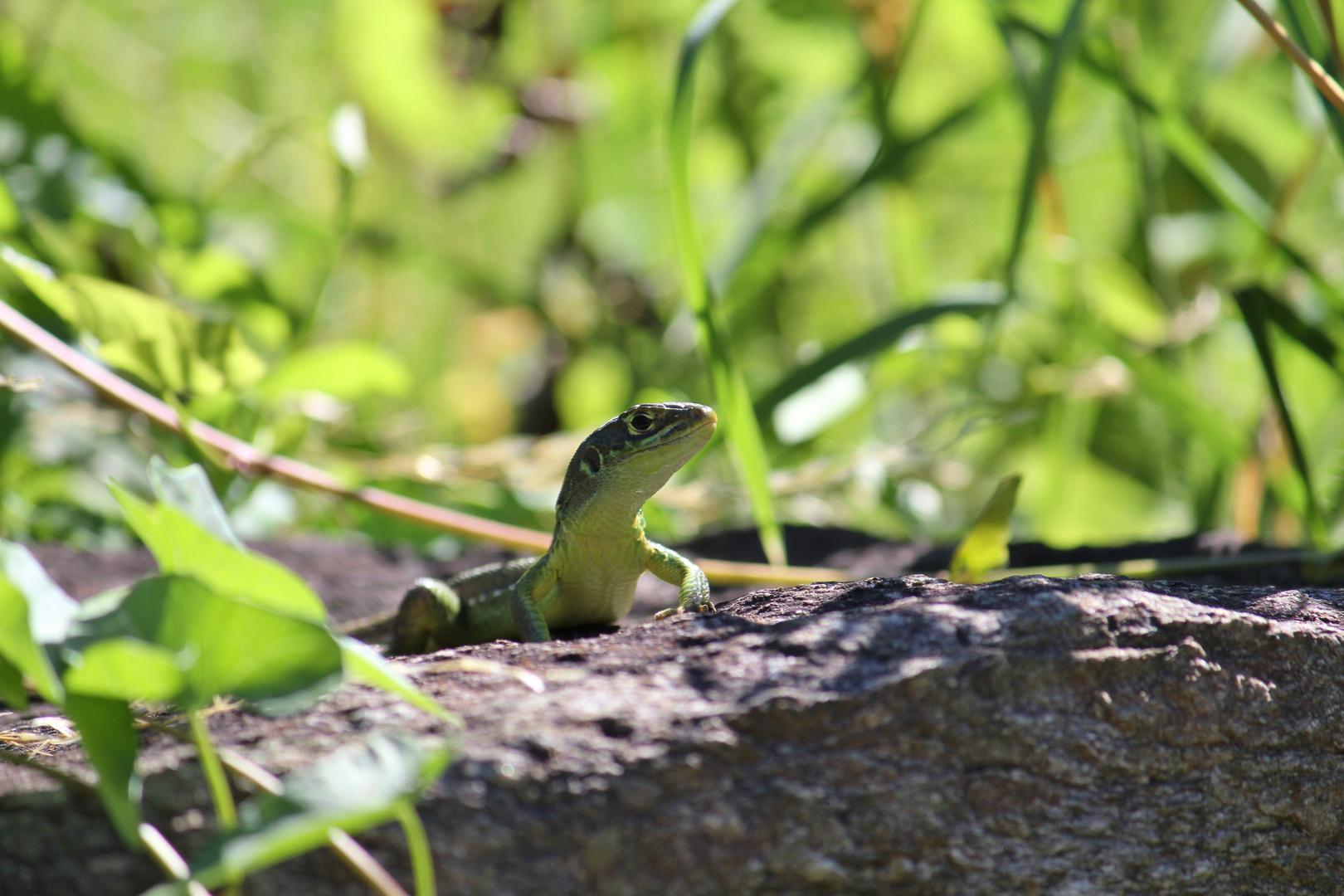 Die Smaragdeidechse ( Lacerta bilineata)