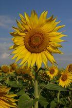 Die Sonne als Blume