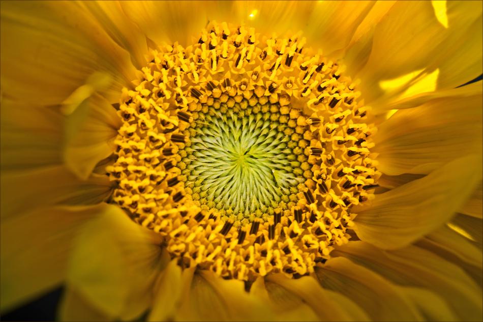 Die Sonne in der Blume