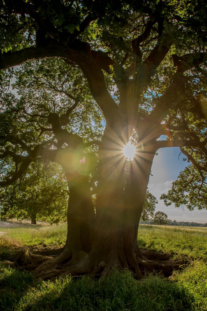 die Sonne und der Baum