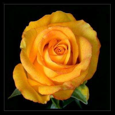 """Die """"Sonnen""""-Königin der Blumen"""