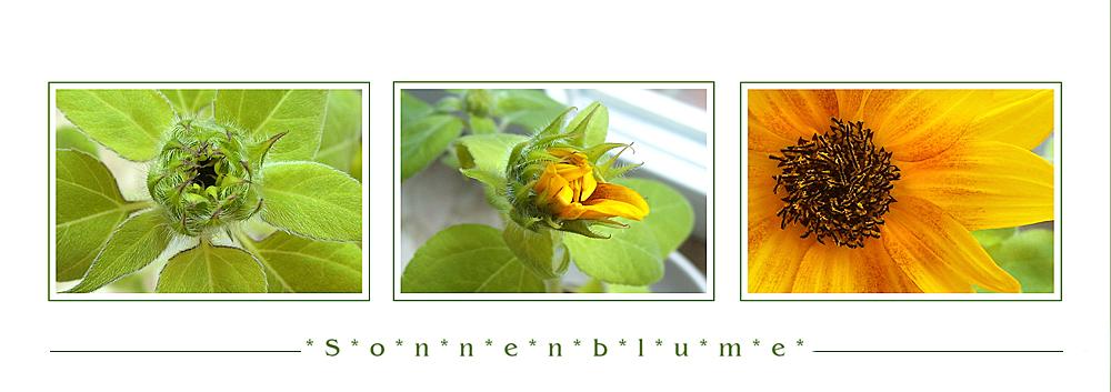 Die Sonnenblume ....