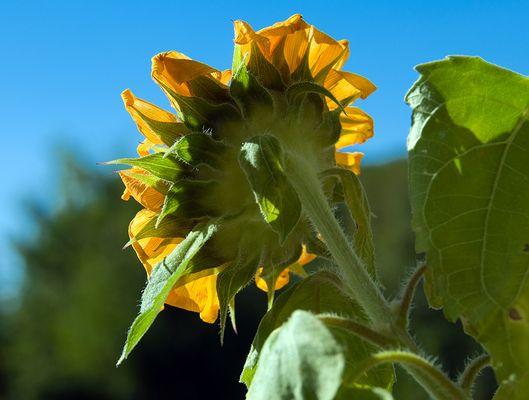Die Sonnenblume...