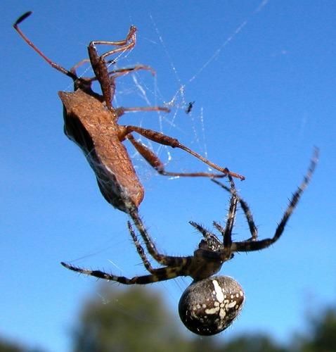 Die Spinne!