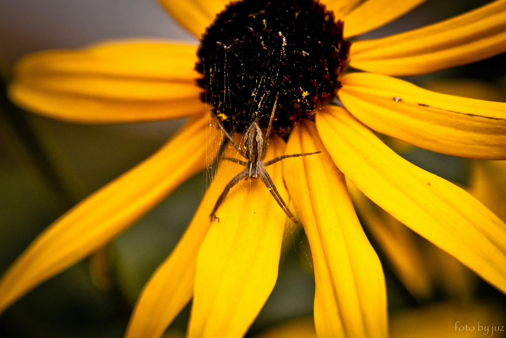 Die Spinne....