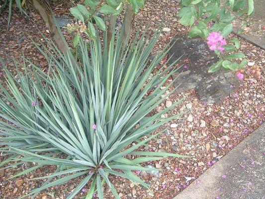 Die Spinne hinter der Yuccapalme?