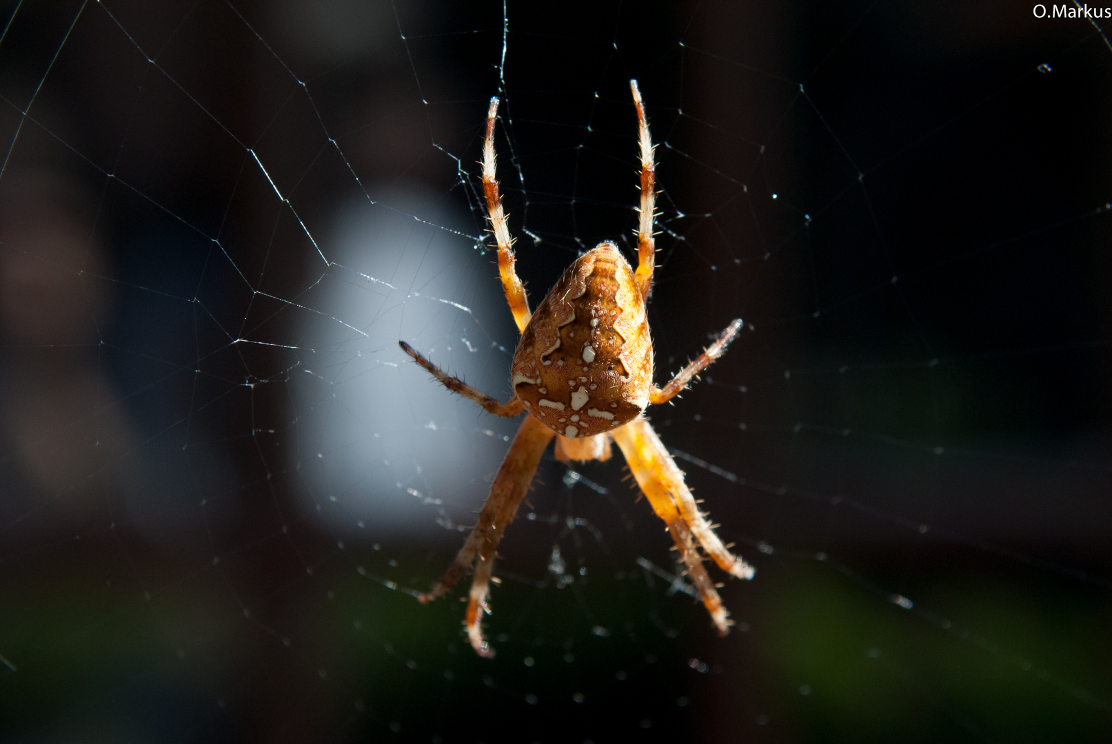 Die Spinne im Makro