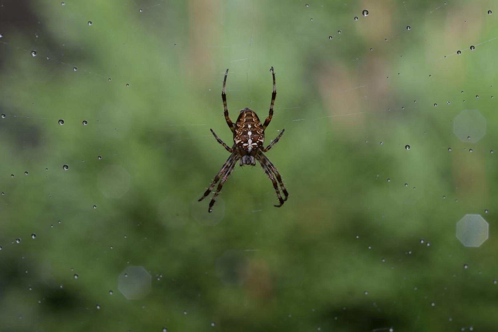 Die Spinne im Regen