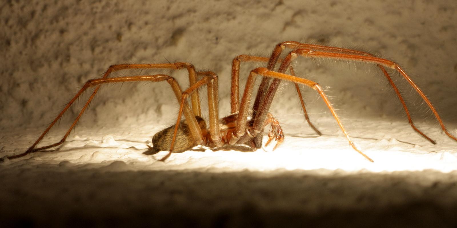 Die Spinne oh welch ein Graus, wohnt bei mir in meinem Haus