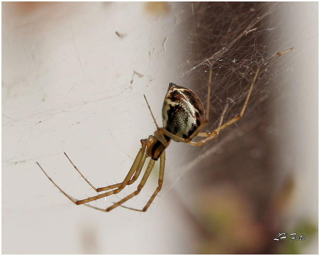 Die Spinnen