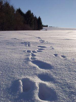 Die Spur des Hasen im Schnee!