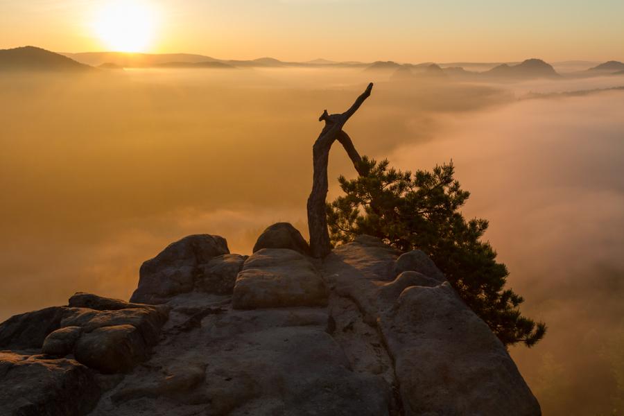 Die Stativkiefer - Mit die berühmteste Kiefer im Elbsandsteingebirge