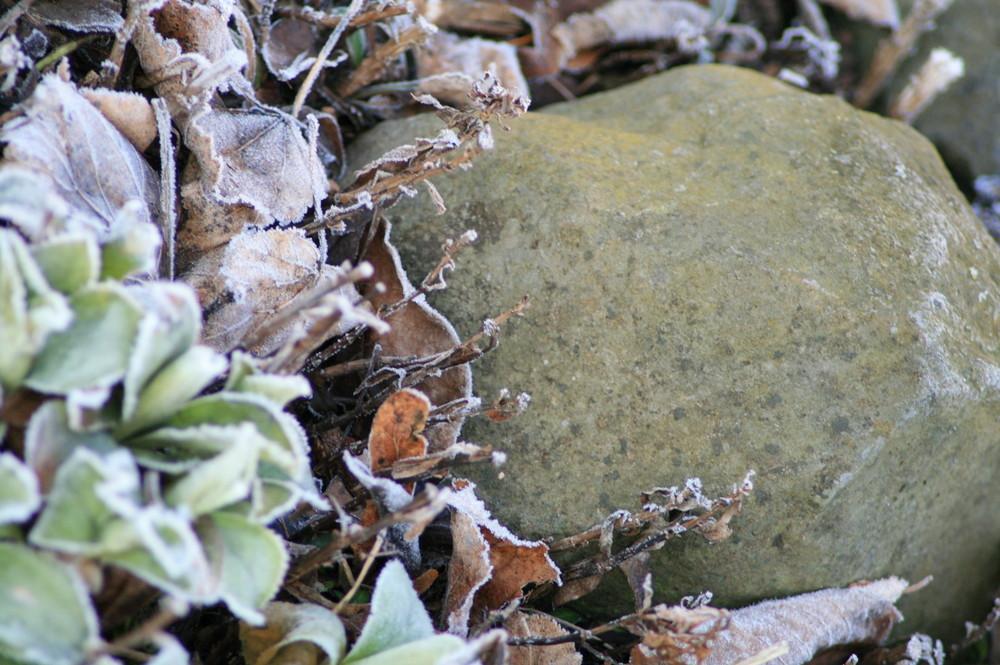 Die Steinblume