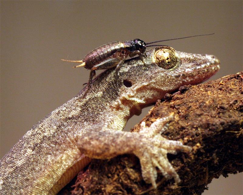 Die Steppengrille und der Hausgecko