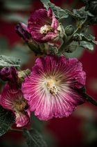 Die Stockrose (Alcea rosea)