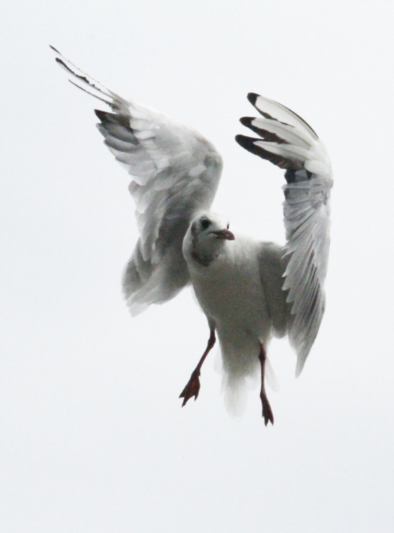Die Stralsunder Möve in Flugpose