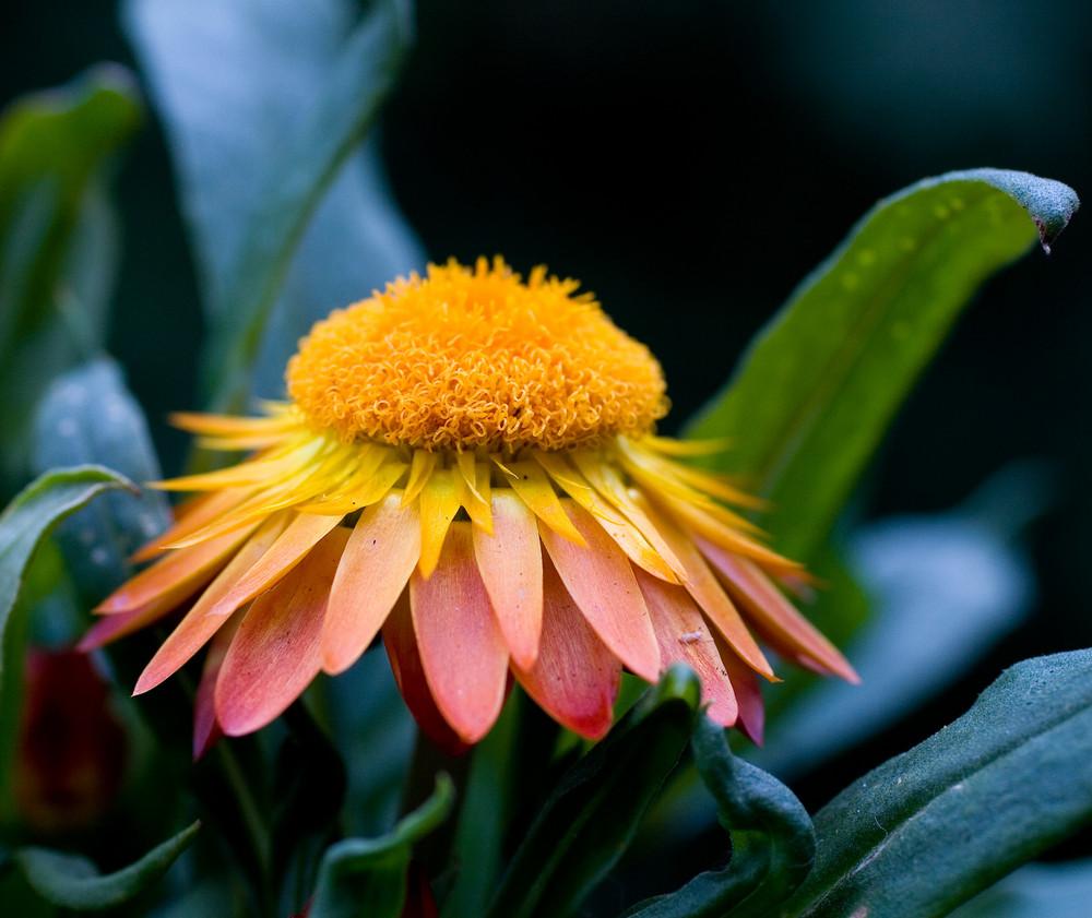 Die Strohblume